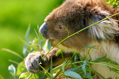 Australien-Koala stockfotos