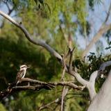 Australien kookaburra Arkivfoto