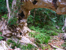 Australien kurandaqueensland rainforest Royaltyfri Bild