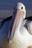 Australien pelican resting on beach, Shark Bay Royalty Free Stock Photo