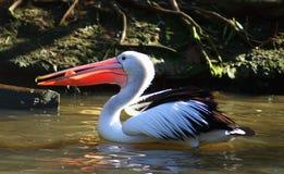 Australien pelikan Arkivbilder