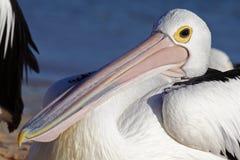Australien Pelikan, der auf Strand, Haifisch-Schacht stillsteht Lizenzfreie Stockbilder