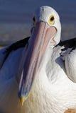 Australien Pelikan, der auf Strand, Haifisch-Schacht stillsteht Lizenzfreies Stockfoto