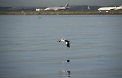 Australien-Pelikan mit Flugzeugen Stockfotografie