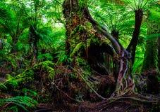 Australien rainforestträd Fotografering för Bildbyråer