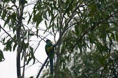 Australien Ringneck dans l'arbre, Wilpena, SA, Australie images stock