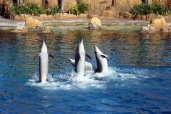 Australien-Seeweltdelphin-Ausführender stockfotografie