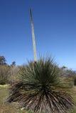 Australien växtyacca Royaltyfri Foto