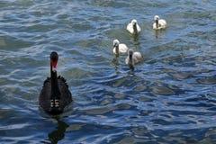 Australien, Victoria, Melbourne, Zoologie, Schwan lizenzfreies stockfoto