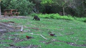 Australien-yarra Strecken Wallaby und Papageien stock video footage