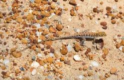 Australien zoologi, reptil royaltyfri bild