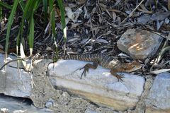 Australien, Zoologie, Reptil, Eidechse Lizenzfreie Stockfotos