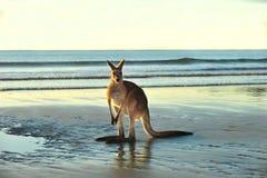 Australiensisk östlig grå känguru som är mackay, queensland Arkivbild