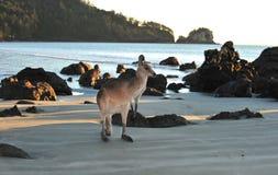 Australiensisk östlig grå kängurustrand som är mackay Arkivbilder