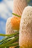 australiensisk banksia Fotografering för Bildbyråer