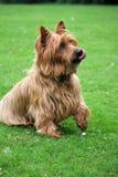australiensisk bedjande hundterrier Royaltyfria Bilder