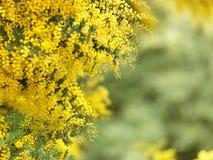 australiensisk blommainföding Royaltyfria Bilder