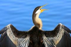 australiensisk cormorant som tycker om den pied sunen för morgon Fotografering för Bildbyråer