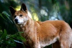 australiensisk dingo Arkivbilder