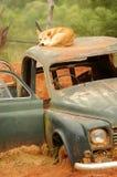australiensisk dingo Fotografering för Bildbyråer