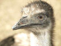 australiensisk emu Royaltyfri Fotografi