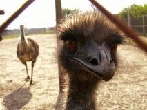 australiensisk emu Arkivfoto