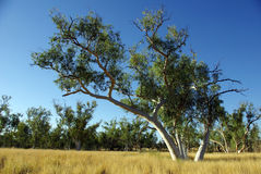 australiensisk eucalyptus Fotografering för Bildbyråer
