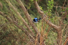 australiensisk fågel royaltyfria foton