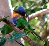australiensisk fågellorrikeet arkivfoto