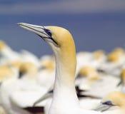 australiensisk gannet royaltyfri bild