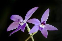 australiensisk glossodiamajororchid arkivbild