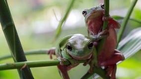 australiensisk grodagreentree arkivfilmer