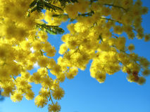 australiensisk guld- wattle royaltyfria bilder