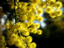 australiensisk guld- wattle fotografering för bildbyråer
