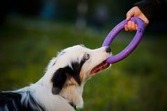 Australiensisk herdemerlevalp och toy Royaltyfri Fotografi