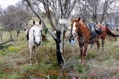 australiensisk häst Arkivfoto