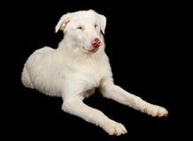 australiensisk hund som lägger ner herdewhite Arkivbild