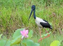 Australiensisk Jabiru fågel Royaltyfria Bilder