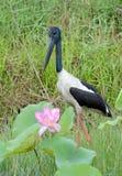 Australiensisk Jabiru fågel Arkivfoton