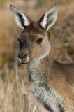australiensisk känguru royaltyfri fotografi