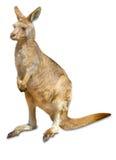 australiensisk känguru Arkivbild