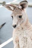 australiensisk känguru Arkivbilder
