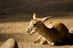 australiensisk kangoroo Royaltyfria Foton