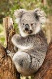 australiensisk koala Royaltyfri Fotografi