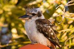 australiensisk kookaburra arkivfoton