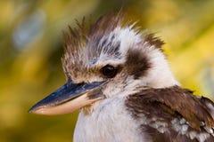 australiensisk kookaburra Arkivbilder
