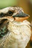 australiensisk kookaburra royaltyfria bilder