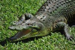 australiensisk krokodil Arkivfoto