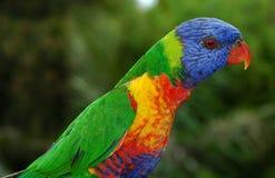 australiensisk lorikeetregnbåge Arkivbild