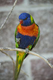 australiensisk lorikeetregnbåge Royaltyfri Bild